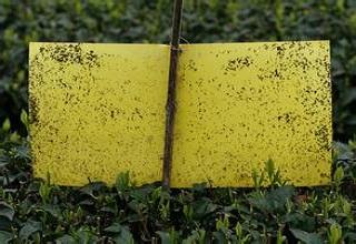 粘虫板提升焦作铁棍山药品质和价值