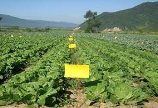 粘虫黄板防治蔬菜蚜虫