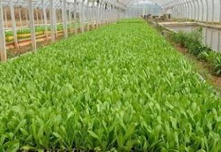 蔬菜大棚粘虫黄板应用