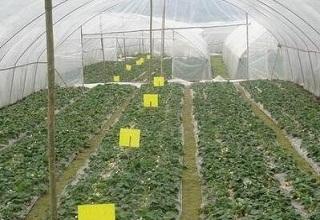 宁陵县油麦菜大棚使用粘虫黄板较少农药依赖
