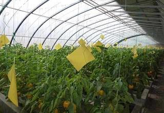 粘虫黄板防治蔬菜大棚美洲斑潜蝇效果显著