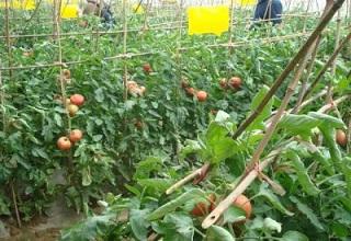 粘虫黄板防治西红柿害虫