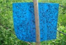 粘虫蓝板粘虫效果图